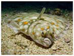 Picture: Flounder Fish
